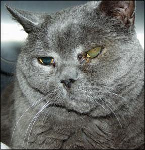 Feline Glaucoma Treatment