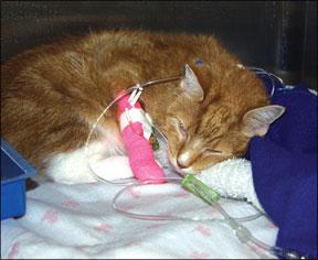 Feline Kidney Failure