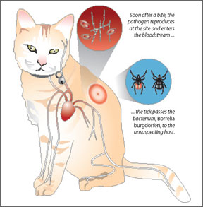 Lyme Disease in Felines