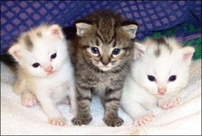 Allerca GD kittens