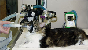 Anesthesia for Felines