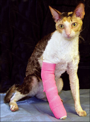 Feline Injuries