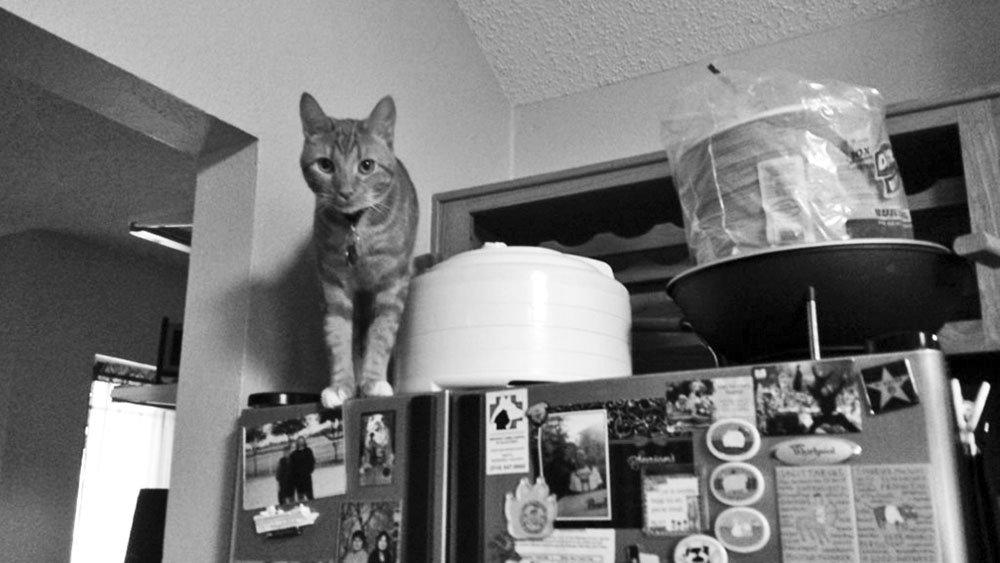 cat perched on refridgerator