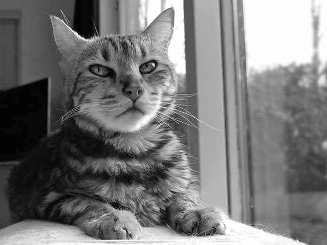 old bengal cat