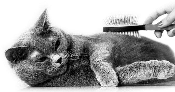 brushing a cat