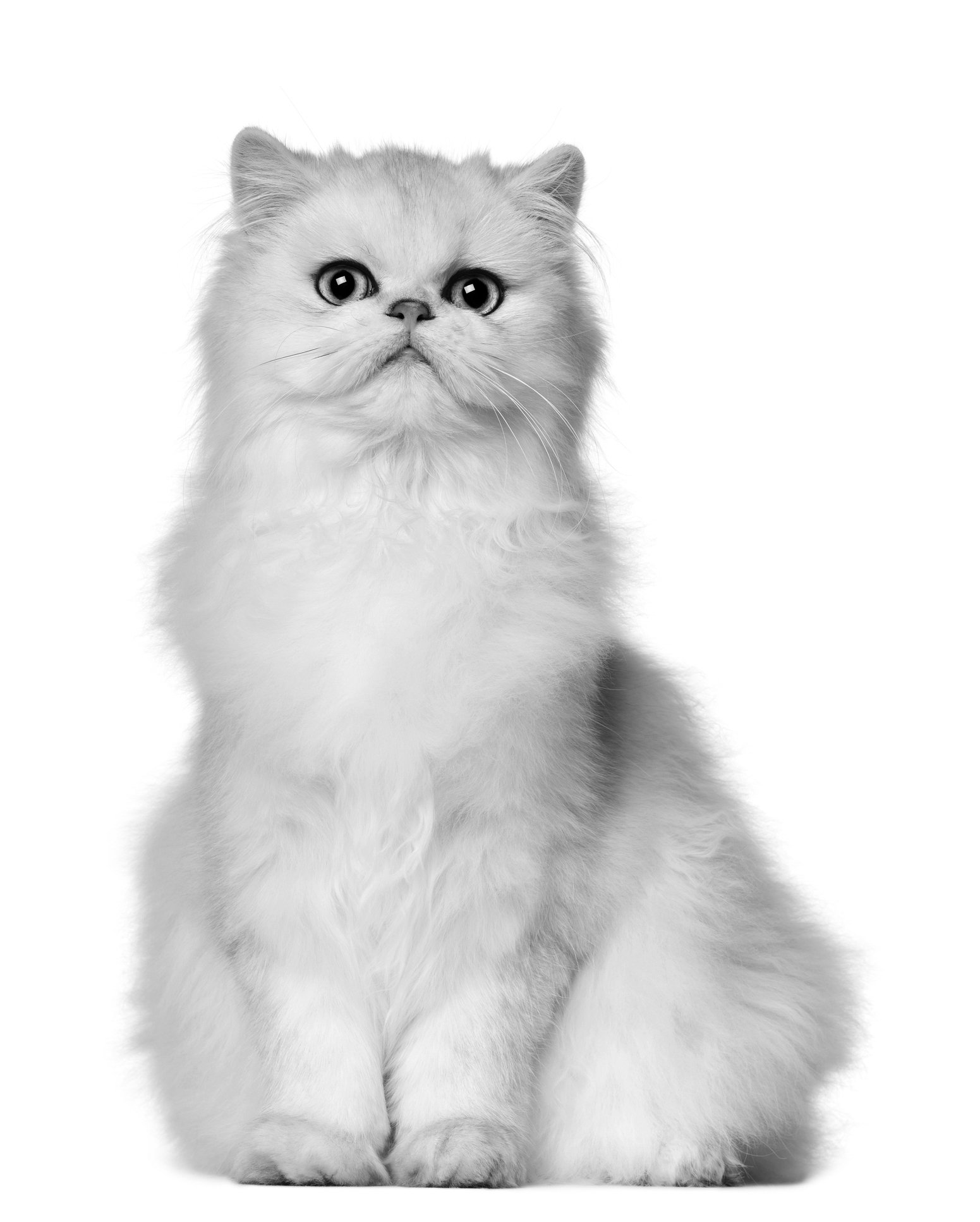 The Odds Of Deafness In White Cats Catwatch Newsletter