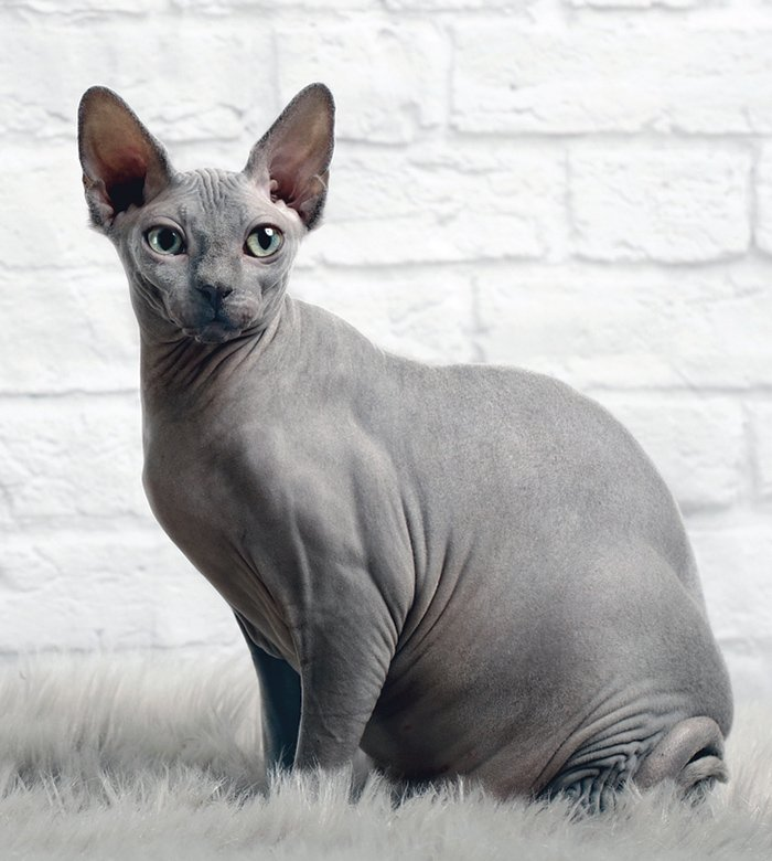 Caring For Your Sphynx Cat Catwatch Newsletter