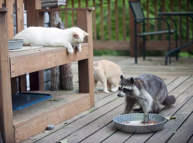 Rabies in Cats