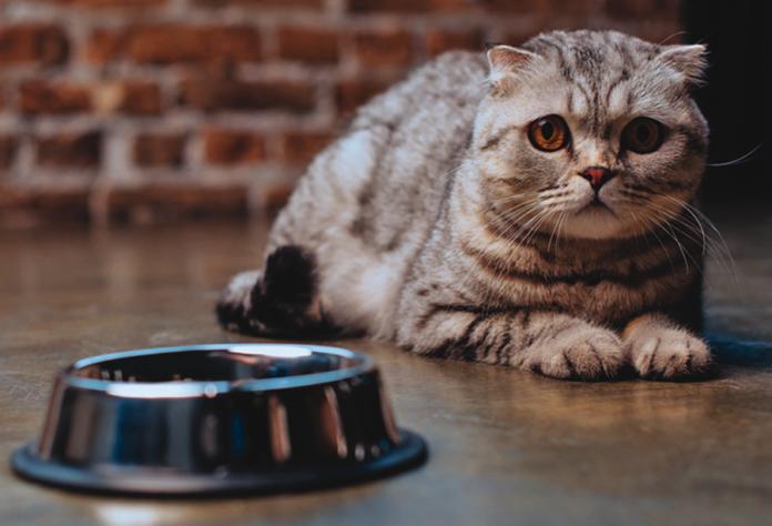 Tabby Scottish Fold cat