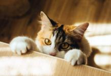 Feline Arthritis
