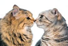 FIV Positive Cat
