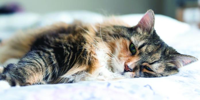 feline congestive heart disease