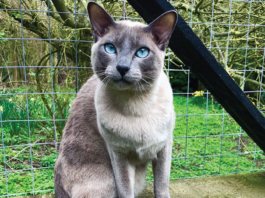 This blue mink Tonkinese is enjoying a perch outdoors, but she is susceptible to mosquito bites if out during dawn or dusk feeding times.