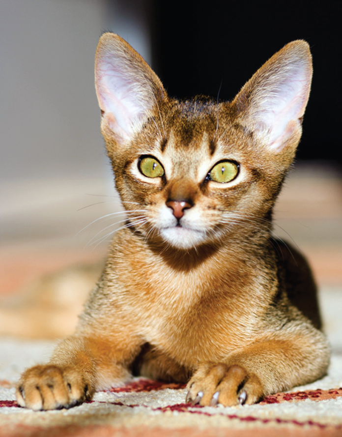 """The Abyssinian cat dates back to Egypt 4,000 years ago and has a distinctive tabby coloring with individual hairs banded with different colors. The elegant, playful Abyssinian has earned the nicknames """"Runway Model of the Cat World"""" and """"Clowns of the Cat Kingdom."""""""