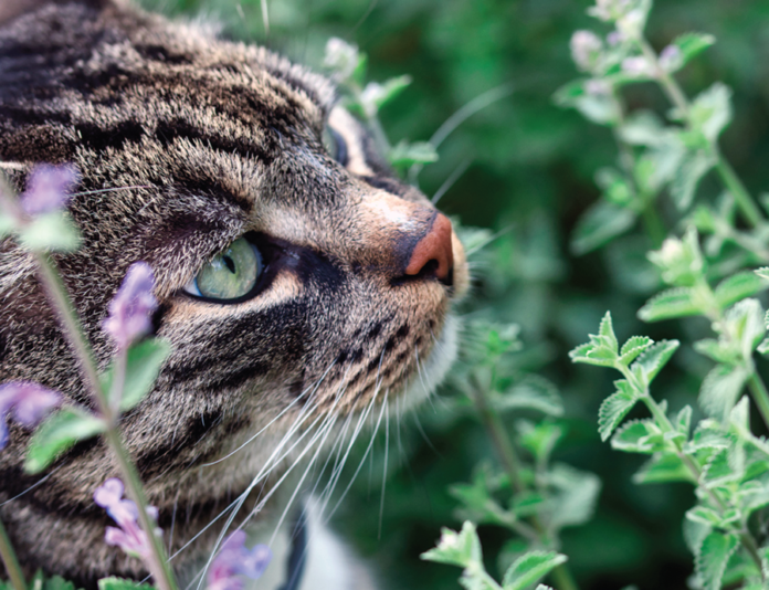 Most cats are attracted to the scent of a catnip plant.