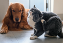 Indoor cats can be exposed to fleas by housemates who go outside and give the fleas a ride in.