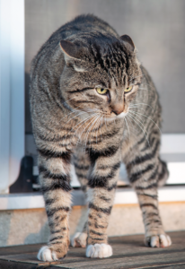 This kitty is angry, possibly protecting his turf. Back arched, staring, ears flat back, tail out.