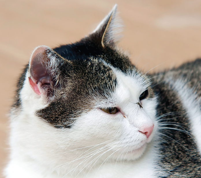 Yes. That's a mosquito on this indoor cat's nose.