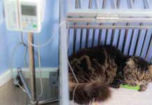A cat battling pneumonia may need hospitalization, including IV medications.