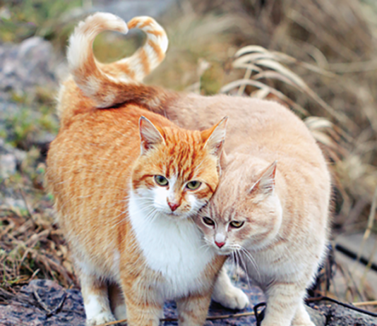 Cats that are buddies may be curled up together with tails intertwined or draped over each other. That is a trusting friendship.