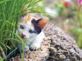 Cats with cerebellar hypoplasia usually get along just fine, but it's wise to keep them out of places where they might fall.