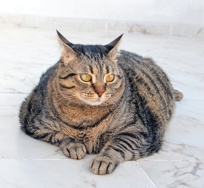 """A cat that lays around all day may not be a """"contented cat."""" It may be too hard to move easily due to excess weight."""