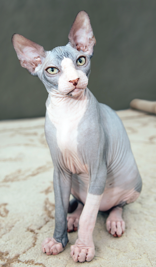 Sphynx cats are hairless.