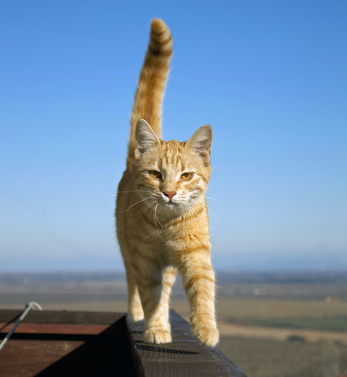 Cats often assume they won't fall off high ledges, but it can happen. When it does, they may act rather cool about it, not letting on that they hurt themselves.